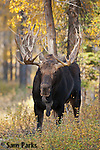 Bull moose in rut. Grand Teton National Park, Wyoming.