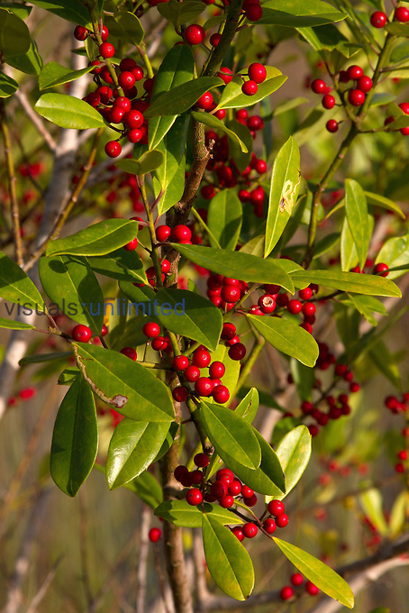 Brazilian Pepper (Schinus terebinthifolius) leaves and berries, an introduced and invasive species, Everglades National Park, Florida, USA.