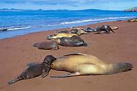 Galapagos sea lion nursing pup, Zalophus wollebaeki or wollebaeki, Rabida or Jervis Island, Galapagos Islands, Ecuador (Eastern Pacific Ocean)
