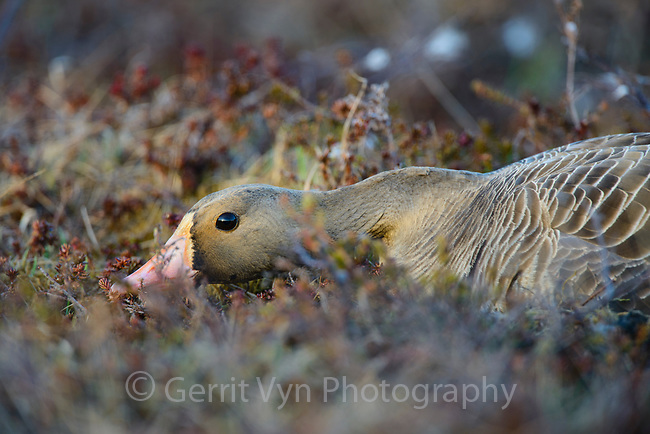 Greater White-fronted Goose (Anser albifrons) incubating nest. Yukon Delta National Wildlife Refuge, Alaska. June.