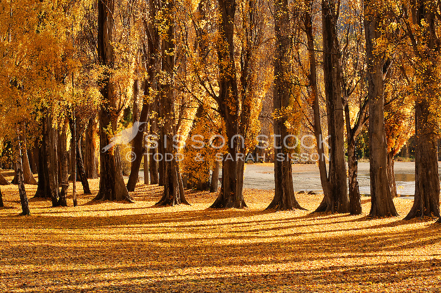 Boutique stock Image | Autumn poplar trees and a carpet of yellow leaves next to Lake Wanaka, South Island, New Zealand<br /> <br /> NO NEW ZEALAND SOUVENIR OR POSTCARD LICENCING PERMITTED