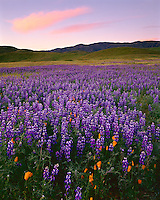 Carrizo Plain National Mounment, CA<br /> Desert field of lupine (L. bicolor) with poppies (Eschscholzia californica) uner the Caliente Mountains at sunrise