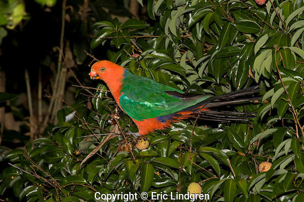 An Australian King Parrot feeds on fruit of a Lychee tree.  //  Australian King Parrot - Psittacidae: Alisterus scapularis. Length to 43cm, wingspan to NNcm, weight to 250g. Endemic to Australia in coastal rainforests and wet sclerophyll woodlands from Cooktown in Queensland to Victoria  - two similar species occur in New Guinea. Diet of fruit and seeds. //  Lychee tree - Sapindaceae: Litchi chinensis. Height to 15m; fruit to 5cm diameter, with perfumed flesh when fresh. Originally native to Guandong Province and Hainan Island in south-eastern China, now widely cultivated throughout south-east Asia., and tropical and sub-tropical orchards. //