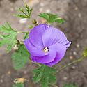Blue hibiscus (Alyogyne huegelii 'Santa Cruz'), mid June.