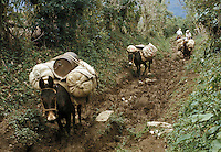 Mexico, Puebla, Sierra de Puebla, mule train on mountain trail..