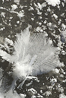 Ice feathers cover the ice on the pond at Volo Bog State Park, Lake County, Illinois