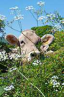 Brown Swiss dairy heifer looking over a hedge, Chipping, Lancashire.