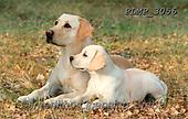 Marek, ANIMALS, REALISTISCHE TIERE, ANIMALES REALISTICOS, dogs, photos+++++,PLMP3056,#a#, EVERYDAY