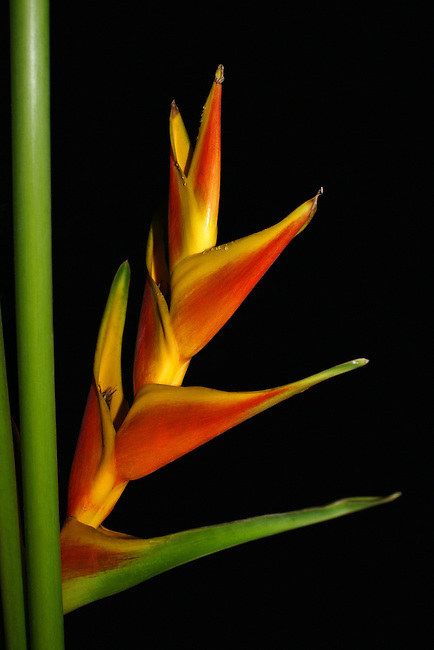 A single red and yellow Heliconia Caribaea Jacquini (a false bird-of-paradise) on a green stem against a black background photographed in Thailand..