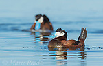 "Ruddy Ducks (Oxyura jamaicensis) two males during courtship display (""bubble display""), Bowdoin National Wildlife Refuge, Montana, USA"