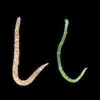 Owenia fusiformis