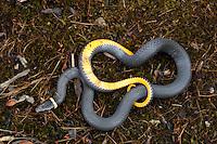 Ring-necked Snake; Diadophis punctatus; PA, French Creek State Park