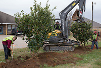 """NWA Democrat-Gazette/CHARLIE KAIJO Tyler Grant of Fayetteville, Orville Hutchins of Elm Springs and Santiago Martinez of Springdale plant China Snow Fringetrees on Monday, November 13, 2017 on 14th Street and Tater Black Rd. in Centerton. The city of Centerton contracted the crew Fresh and Green to plant 305 trees throughout the city all the way up to Greenhouse Road. The Wal-Mart Family Foundation awarded the city a grant for $181,000 for the project. """"I think it's going to be very nice for the city and give it a new look,"""" said Centerton Mayor Bill Edwards. The project is about a quarter of the way finished."""