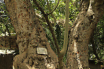 Tel Aviv, a Sycamore tree in Oliphant St.