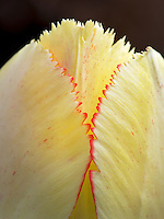Close up of red fringed tulip.