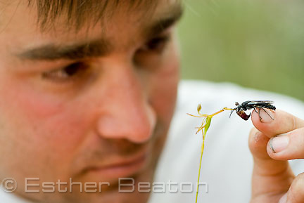 Ryan Phillips, researcher, removing wasp from (Drakaea livida) Hammer Orchid near Yallingup, Margaret River area of Western Australia. southwest corner of Western Australia.