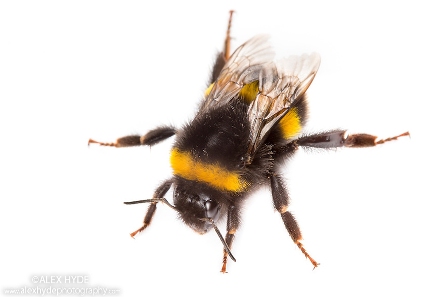 Buff-tailed Bumblebee {Bombus terrestris} worker photographed in mobile field studio on a white background. Peak District National Park, Derbyshire, UK. July.