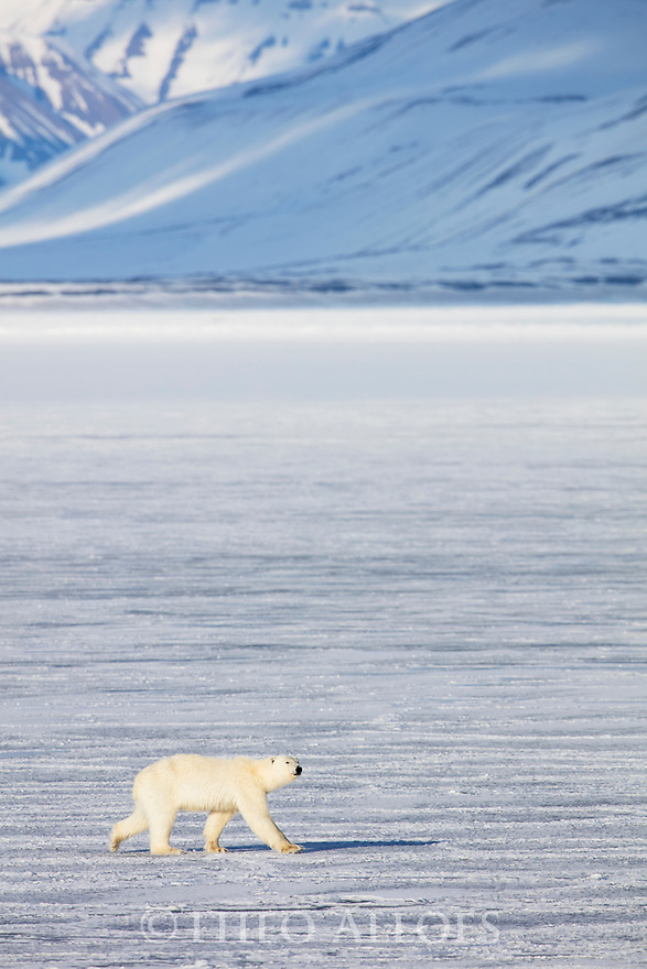 Norway, Svalbard, polar bear crossing frozen fjord