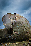 Should I backup?  I'm up close and personal with a huge 12 foot long Northern elephant seal.  I was in the field with biologists studying these animals and on assignment for a science group called Tagging of Pacific Predators (ToPP).