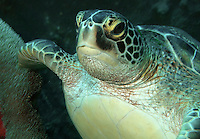 Green Sea-turtle - Chelonia mydas