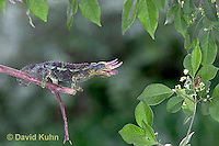 "1105-07yy  Jackson chameleon ""Shooting Out Tongue to Catch Insect"" - Chamaeleo jacksonii - © David Kuhn/Dwight Kuhn Photography [See 1105-07xx, 1105-07yy, 1105-07zz for Complete Tongue Flicking Sequence]"