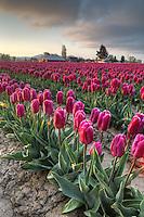 Rows of purple tulips at sunrise, Skagit Valley, Mount Vernon, Washington