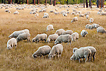 Sheep grazing in autumn, Wolf Creek Meadows, Alpine Co., Calif.
