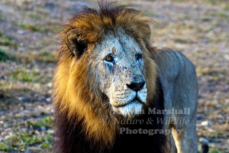 Male lion (Panthera leo) is one of the four big cats in the genus Panthera, and a member of the family Felidae. With some males exceeding 250 kg (550 lb) in weight, it is the second-largest living cat after the tiger.