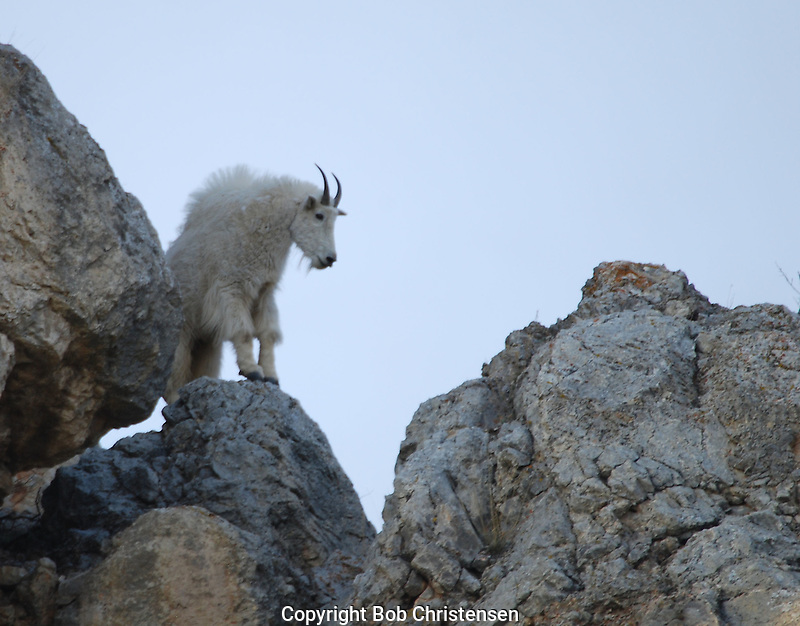 Montana Mountain Goats