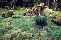 Haida Gwaii (Queen Charlotte Islands), BC, British Columbia, Canada - Moss-covered Tree Trunks in Rainforest at Ikeda Cove, Gwaii Haanas National Park Reserve