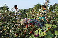 Fairtrade cotton farm labourers (L-R) Radhakrishnan, 19, Sapna Mandloi, 20, and Kamal, 20, pick cotton in Narendra Patidar's farm in Karhi, Khargone, Madhya Pradesh, India on 12 November 2014. Each labourer gets paid 5 rupees per kilogram and can pick up to 40kg per day. Photo by Suzanne Lee for Fairtrade