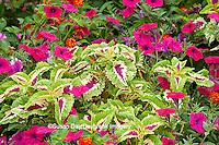 63821-21916 Pink Tidal Wave Petunias, Sun Coleus, and Red Spread Lantana (Lantana camara) Marion Co., IL