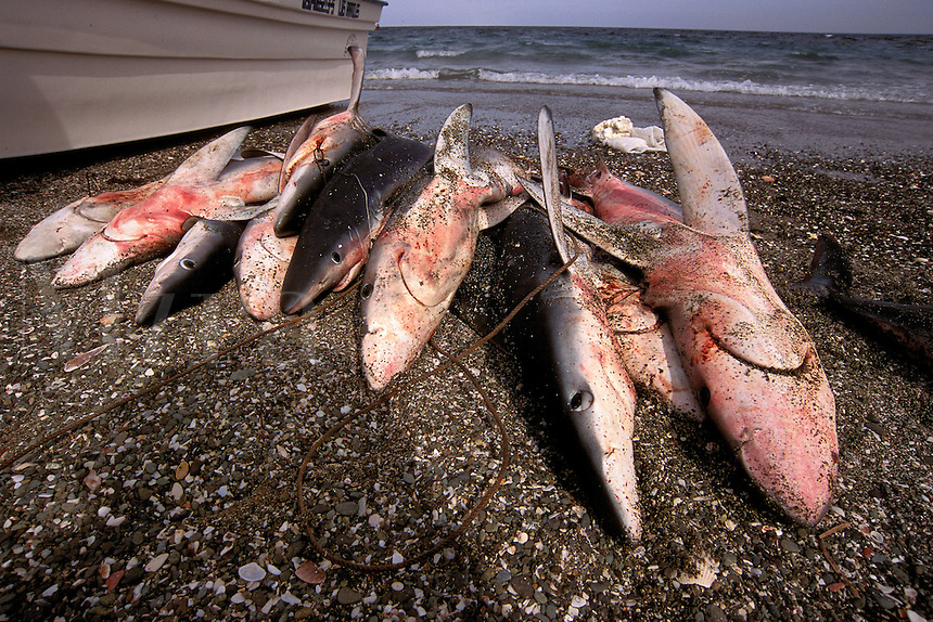 Shark finning is one of the world's most destructive fisheries . Sharks are killed needlessly, and their fins are collected for shark fin soup, Baja California, Pacific Ocean