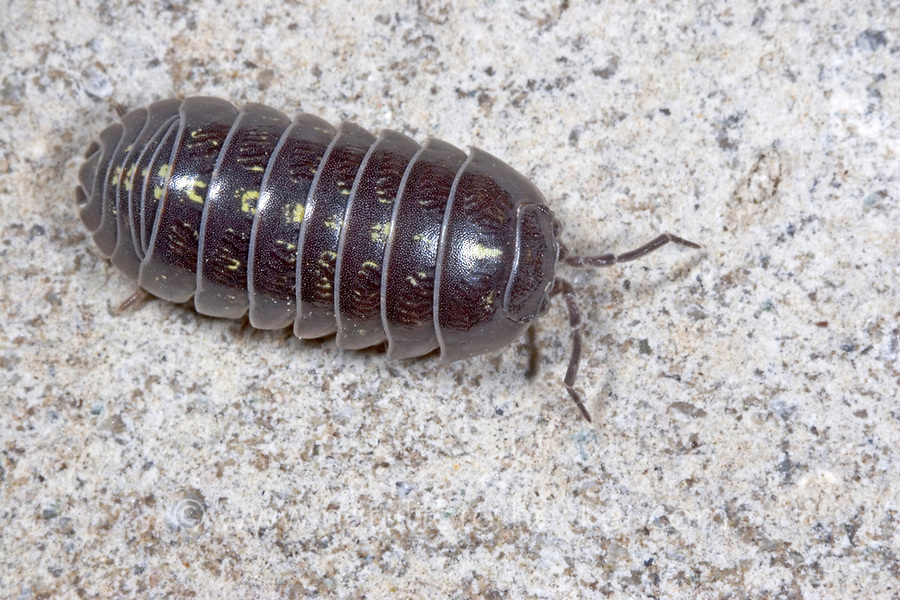 Gemeine Rollassel, Rollasseln, Armadillidium vulgare, common pill-bug, pill-bug, Pillbug, potato bug, common pill woodlouse, roly-poly, doodle bug, carpenter