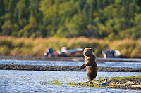 Brown bear cub stands up along the shore of Naknek lake, Katmai National Park, southwest, Alaska.