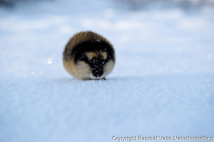 Lemen på isen på Nordre Stabbursdalsvann. ----  Norway Lemming in winter.
