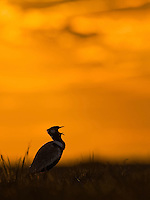 Calling territorial male Northern Black Korhaan (Eupodotis afraoides) silhouetted against a sunset sky.