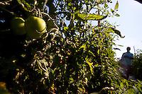 Pouso Alegre_MG, Brasil...Plantacao de tomate em Pouso Alegre...Tomato plantation in Pouso Alegre...Foto: LEO DRUMOND / NITRO.....