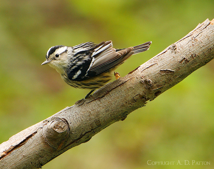 Adult female black-and-white warbler at Paradise Pond in April