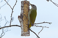 Grauspecht, Weibchen an der Vogelfütterung, Grau-Specht, Erdspecht, Erdspechte, Picus canus, grey-headed woodpecker, grey-faced woodpecker, female, Le Pic cendré