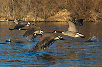 Canada geese taking flight in northern Wisconsin