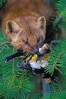 Marten aka Pine Marten.with evening grosbeak..Martes americana.