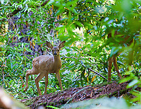 Blacktail deer fawn and mother, Henry Cowell Redwoods State Park, near Santa Cruz