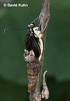 1020-0811  Giant Swallowtail Butterfly Emerging from Chrysalis (Life Cycle Series), Papilio cresphontes © David Kuhn/Dwight Kuhn Photography.