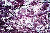 Körsbärsblom, Japan, Träd, WSJ