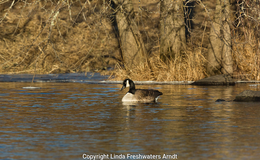 Canada goose resting on the Chippewa River in northern Wisconsin
