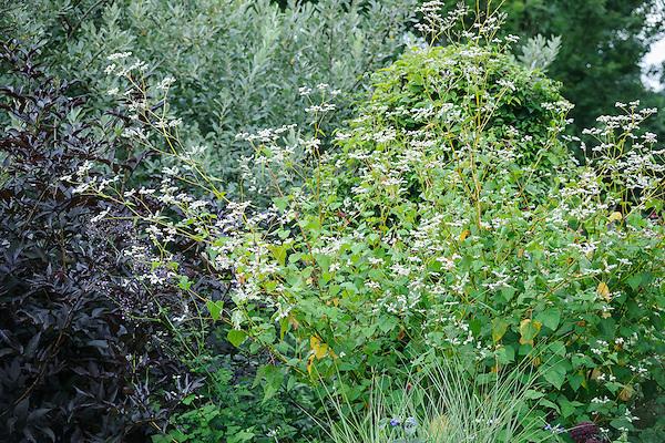Fagopyrum dibotrys