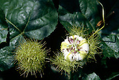 Makande, Gabon. Passion flower Passiflora foetida with spiky green balls.