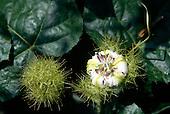 Makande, Gabon. Passion flower Passiflora foetida with spiky green balls.