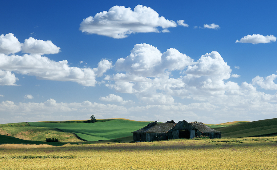Bright puffy white clouds and golden wheat ready for harvest surround an abandoned, dilapidated farmhouse in the Palouse in Eastern Washington State.